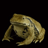 LEATHER TOAD